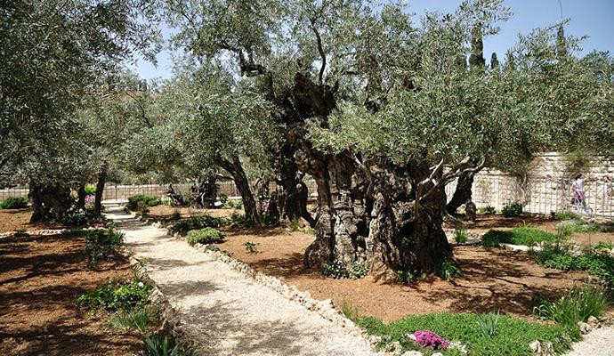 Гефсиманский сад в Иерусалиме